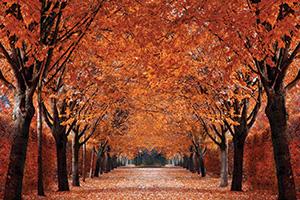 Autumn trees down a path
