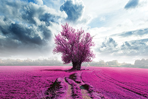 Purple fields and a single tree standing in the middle
