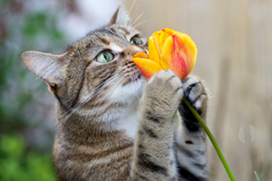 Cat smelling tulip