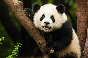 Panda sitting in a tree