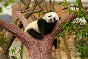 Baby panda sleeping in tree
