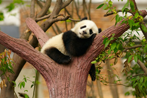 Baby panda sleeping in tree