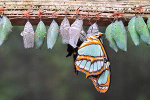 Row of butterfly cocoons and a newly hatched butterfly
