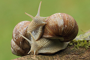Two snails interacting