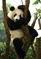 Panda bear playing in tree