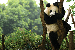 Panda bear playing in tree