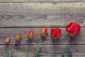 Evolution of red tulips blossoming