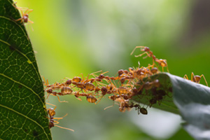 Ants building a bridge
