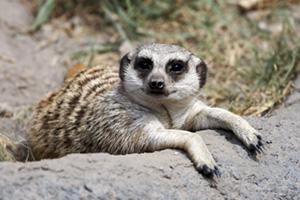 Meerkat relaxing in the sun