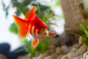 Goldfish looking shocked whilst swimming in aquarium