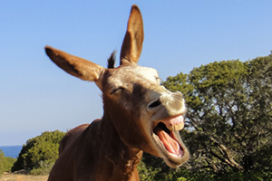 Donkey laughing