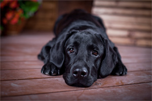 Black labrador retriever resting on the floor
