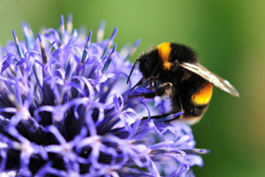 Bumble bee on echinops flower