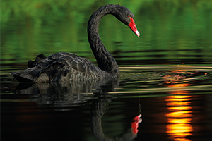 Black swan swimming in the water with a reflection of the sun