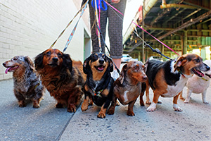 Group of dogs being taken for a walk