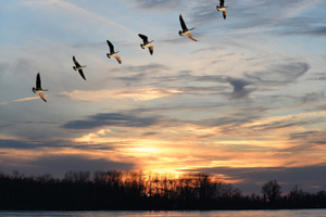 Flock of geese flying over lake at sunset