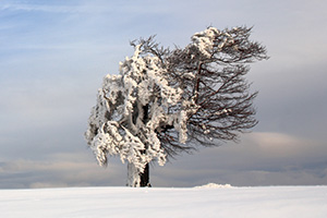 Single winter tree covered in snow