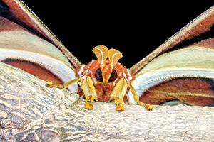 Close up of attacus atlas