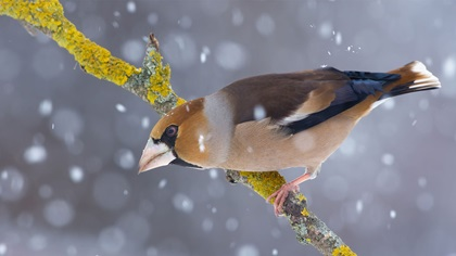 Male hawfinch perched on a branch in snow