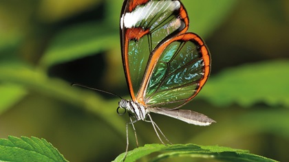 Beautiful butterfly with see through wings sitting on a plant