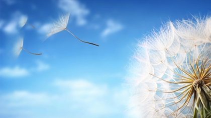 Close up of dandelion with seeds flying from it