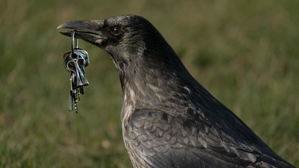 Crow stealing some keys in a park
