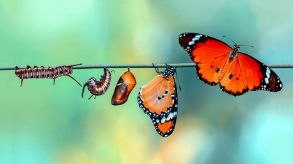 Evolution process for a monarch butterfly