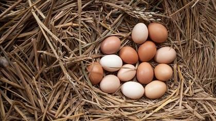 Bunch of chicken eggs in a nest