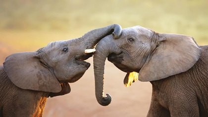 Two elephants touching each other, greeting