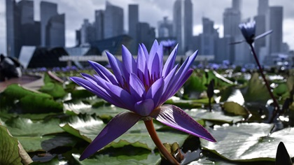 Purple flower in front of city scape of Singapore