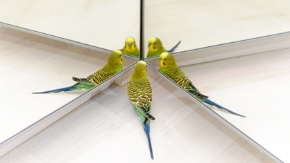 Yellow budies standing close to multiple mirrors