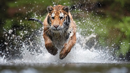 Siberian tiger running and jumping in water