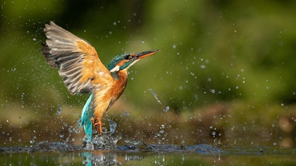 Female kingfisher emerging from water