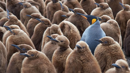 Adult king penguin amongst group of nearly fully grown penguins