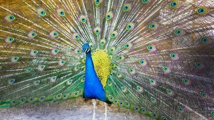 Colourful peakcock