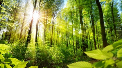Green forest with sun shining through the trees
