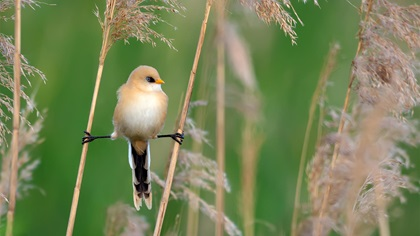 Young male bearded reedling perched doing the splits