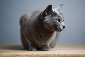 Blue cat sitting on table