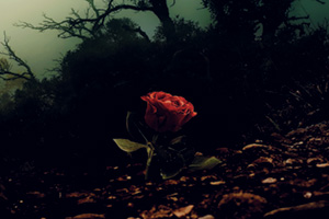 Red rose growing through soil in a dark and mysterious woods