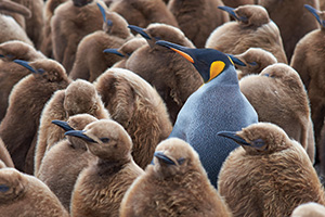 Adult king penguin standing amongst a large group of younger penguins