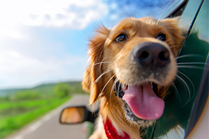 Golden retriever with its head out the car window, enjoying the breeze